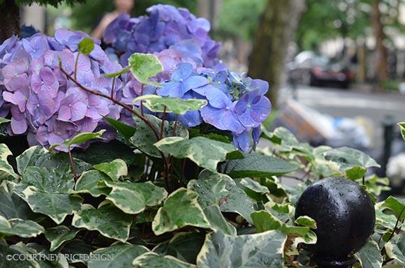 Beautiful Flowers in planters, hydrangea