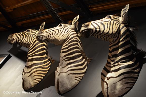 Zebra Heads, taxidermy zebra