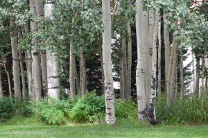 Aspen Trees, Telluride